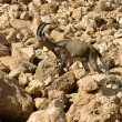 Mountain chamois among rocks — Stock Photo #4578282