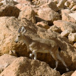 Mountain chamois among rocks — Stock Photo #4578283