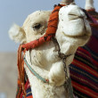 Head and neck of a camel — Stock Photo