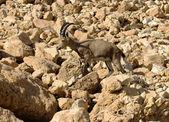 Mountain chamois among rocks — Stock Photo
