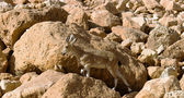 Mountain chamois among rocks — Stock Photo