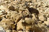 Pair of mountain chamoises among rocks — Stock Photo
