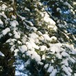 Snow-bound branches of pine-tree — Stock Photo