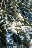 Snow-bound branches of pine-tree — Stock Photo