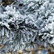 Stock Photo: Pine tree branches