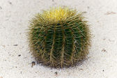 Echinocactus Grusonii — Stock Photo