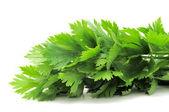 Fresh Green Celery Leaves — Stock Photo