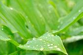 Yeşil yapraklar çiy damlaları — Stok fotoğraf