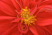 Red Dahlia Closeup — Stock Photo