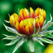 Budding Coneflower — Stock Photo #4194800