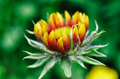 Budding Coneflower — Stock Photo
