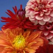 Bunch of Multicolored Dahlias — Stock Photo #4208535