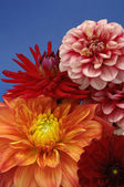 Bunch of Multicolored Dahlias — Stock Photo