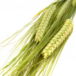 Green Ears of Barley - Stock Photo