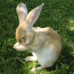 Cute Rabbit Washing Its Face — Stock Photo