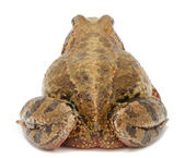 Toad (Back View) — Stock Photo