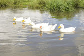 Geese in the Pond — Stock Photo