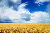 Yellow Field Under Bright Blue Sky — Stock Photo