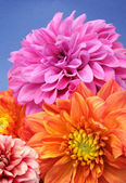 Beautiful Multicolored Dahlias — Stock Photo