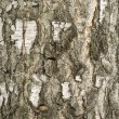 Birch Bark Texture — Stock Photo