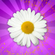 Daisy Flower on Magic Pink Background — Stock Photo