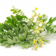 Wormwood on White Background - Stock Photo