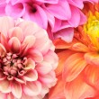 Beautiful Multicolored Dahlias Cloes-up — Stock Photo #5138002