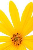 Jerusalem Artichoke Flower Close-up — Stock Photo