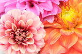 Beautiful Multicolored Dahlias Cloes-up — Stock Photo