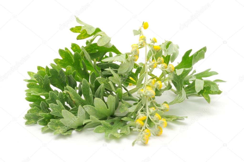 Wormwood (Artemisia absinthium) isolated on a white background  Stock Photo #5137999