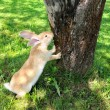 Cute Rabbit Standing on Hind Legs — Stock Photo #5231023