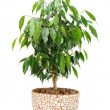 Weeping Fig (Ficus Benjamina) in Pot Isolated on White Background — Stock Photo #5235759