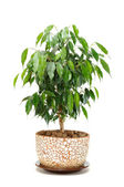 Weeping Fig (Ficus Benjamina) in Pot Isolated on White Background — Stock Photo