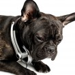 Dog in earpiecess - Stock Photo
