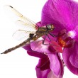 Dragonfly — Stock Photo #4322653