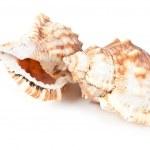 Beautiful seashell — Stock Photo