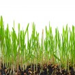 Young green grass — Stock Photo #5029057