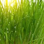 Morning sun green grass — Stock Photo #5031419