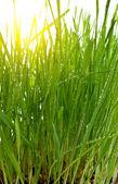 Morning sun green grass — Stock Photo
