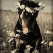 Doberman in daysies - Stockfoto