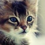 Ruddy somali kitten — Stock Photo