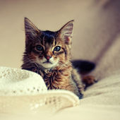 Ruddy somali kitten — Stock Photo
