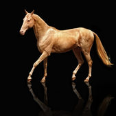 Palomino Akhal-teke horse — Stock Photo
