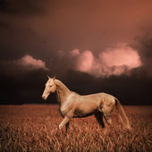 Palomino akhal-teke horse in evening wheat field — Stock Photo