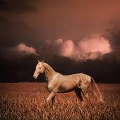 Palomino akhal-teke horse in evening wheat field — Stock Photo