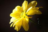 Yellow Daisy — Stockfoto