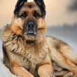 Royalty-Free Stock Photo: Portrait of german shepherd in snow