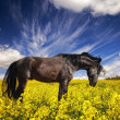 Black stallion in a rapeseed field - Stock Photo