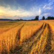 Stock Photo: Rural landscape with wheat field on sunset