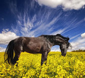 Black stallion in a rapeseed field — Stock Photo